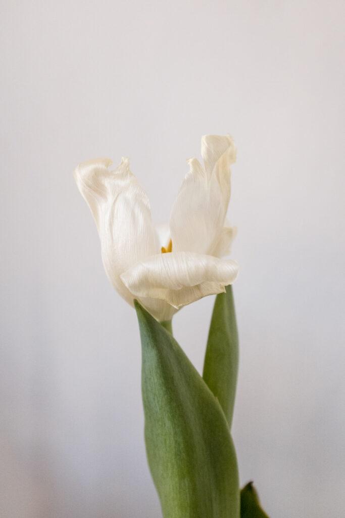 Tulipano fiorito